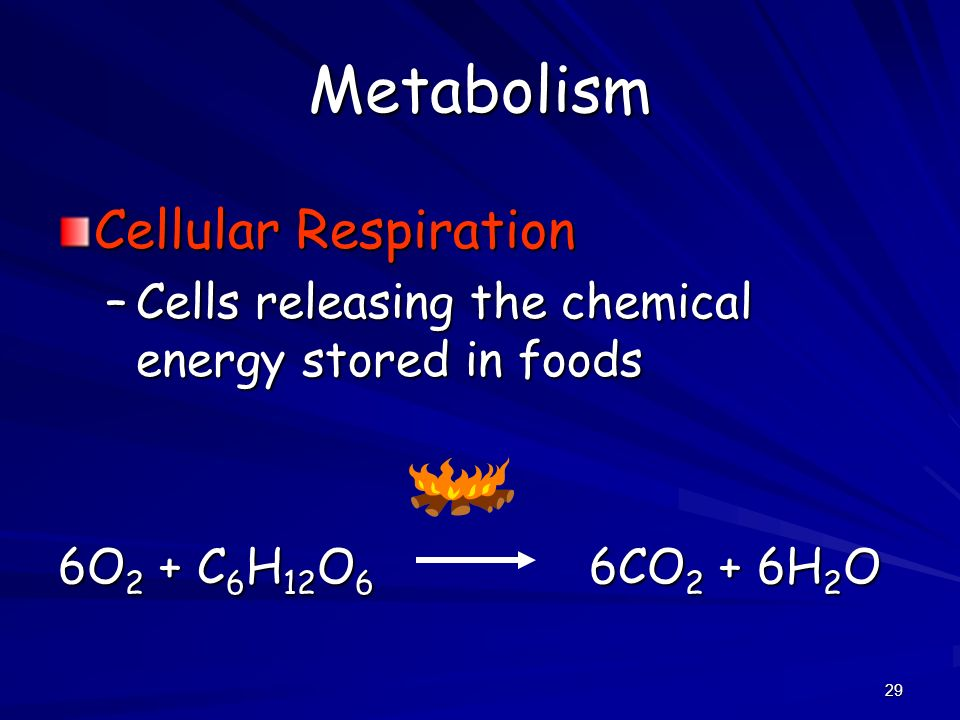 29 Metabolism Cellular Respiration –Cells releasing the chemical energy stored in foods 6O 2 + C 6 H 12 O 6 6CO 2 + 6H 2 O