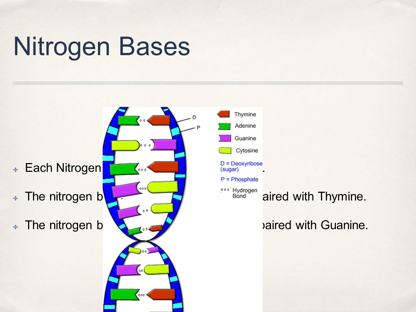 Nitrogen Bases ✤ Each Nitrogen Base pairs with another base.