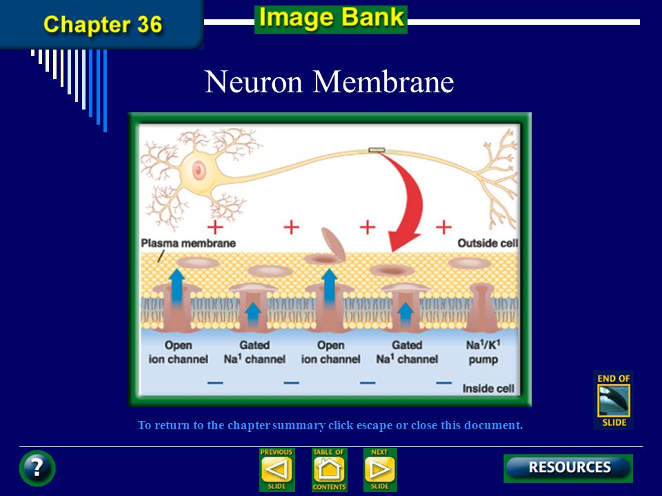 To return to the chapter summary click escape or close this document. Neuron Membrane