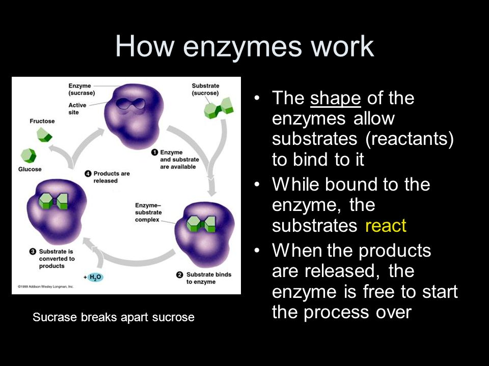How enzymes work The shape of the enzymes allow substrates (reactants) to bind to it While bound to the enzyme, the substrates react When the products are released, the enzyme is free to start the process over Sucrase breaks apart sucrose
