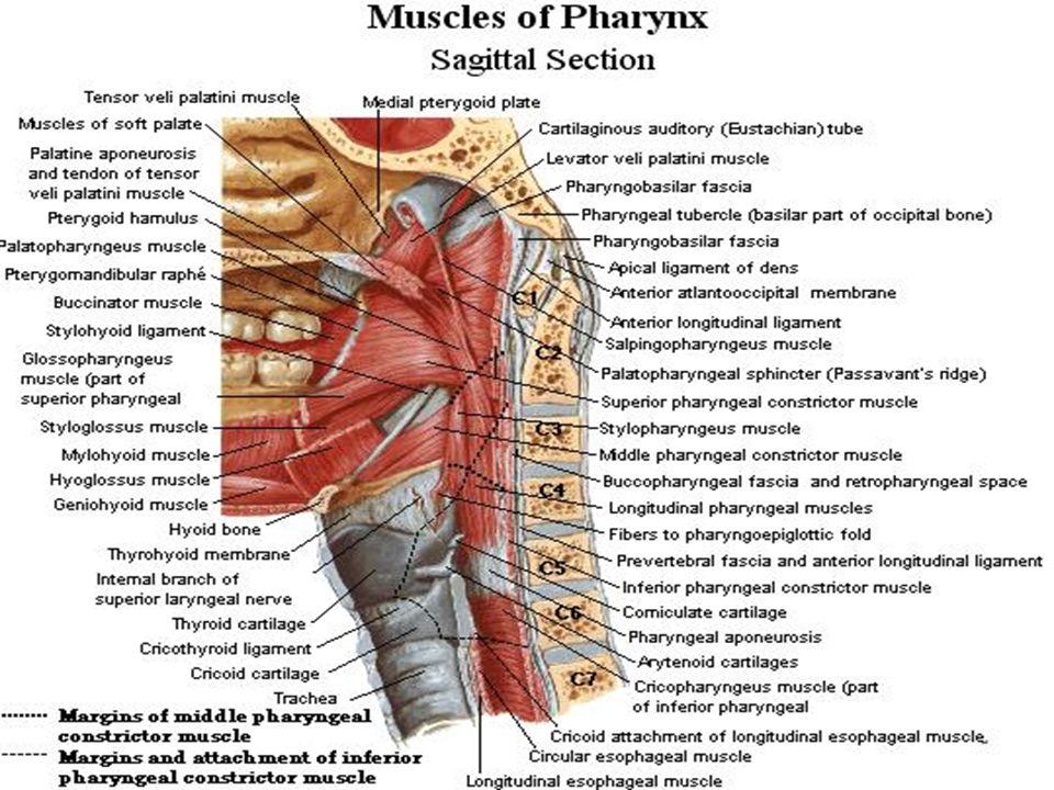 Tolle Cricopharyngeus Muskelanatomie Ideen Menschliche Anatomie