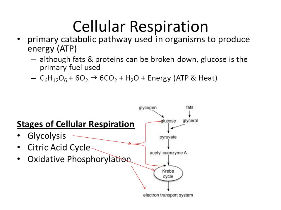 Catabolic pathways and glycolysis the ability to do that work 3 cellular respiration ccuart Gallery