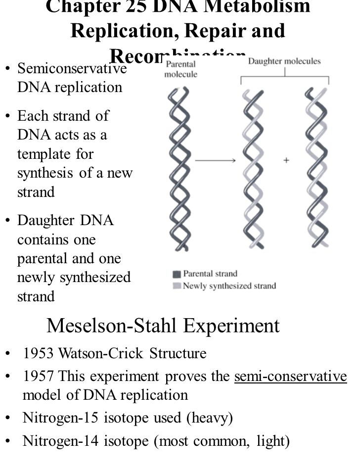 Chapter 25 dna metabolism replication repair and recombination 1 chapter 25 dna metabolism replication repair and recombination semiconservative dna pronofoot35fo Images