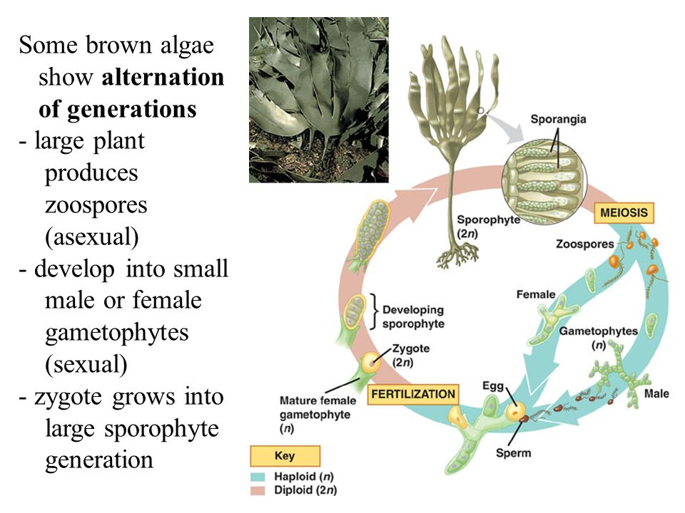 the alternation of generations in gametophytes Advertisements: pteridophytes: useful notes on alternation of generations of pteridophytes there is a regular feature of alternation of generations at the time of sporogenesis the reduction division takes place and the haploid spores are formed which represent the first stage of the gametophyte generation.