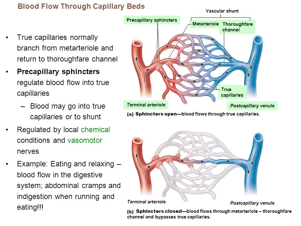 True capillaries normally branch from metarteriole and return to thoroughfare channel Precapillary sphincters regulate blood flow into true capillarie