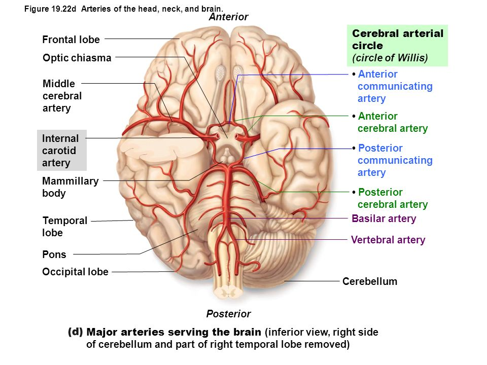 Figure 19.22d Arteries of the head, neck, and brain. Cerebral arterial circle (circle of Willis) Anterior communicating artery Posterior communicating
