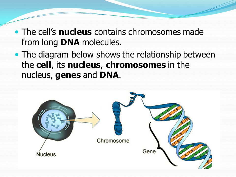 Chapter 9 key knowledge molecular genetics genome gene expression the cells nucleus contains chromosomes made from long dna molecules ccuart Image collections