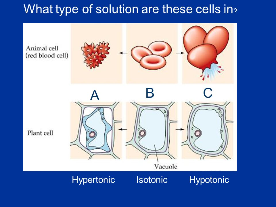 What type of solution are these cells in A CB HypertonicIsotonicHypotonic