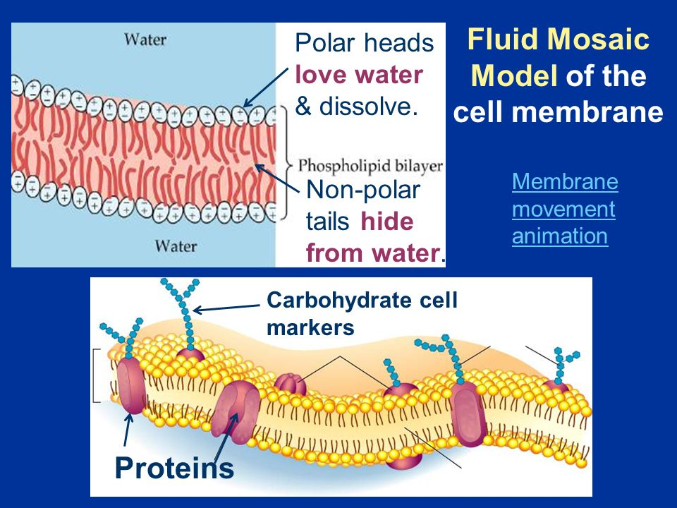 Proteins Membrane movement animation Polar heads love water & dissolve.