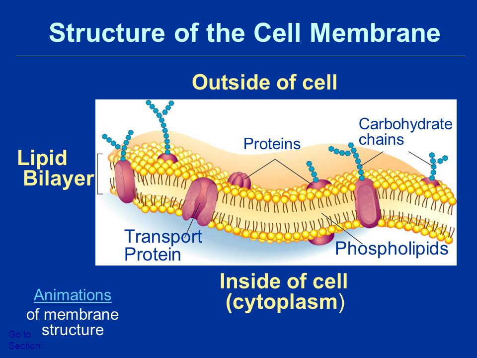 Outside of cell Inside of cell (cytoplasm) Lipid Bilayer Proteins Transport Protein Phospholipids Carbohydrate chains Structure of the Cell Membrane Go to Section: Animations of membrane structure