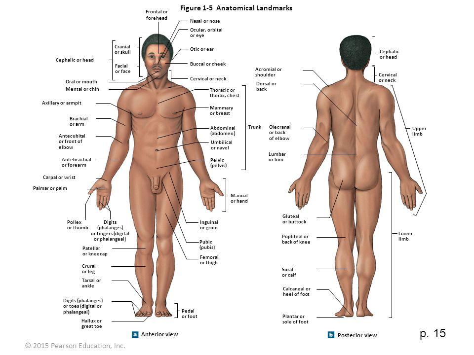 Ziemlich Menschliche Anatomie Definition Begriffe Ideen - Anatomie ...