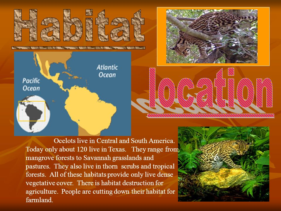 Ocelots live in Central and South America. Today only about 120 live in Texas.
