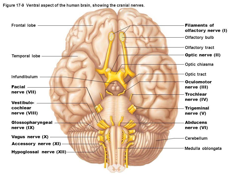 Infundibulum Brain Inferior View