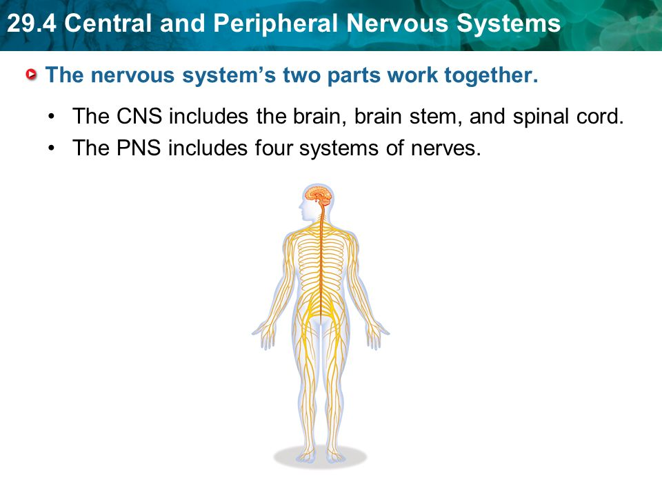29.4 Central and Peripheral Nervous Systems The nervous system's two parts work together.