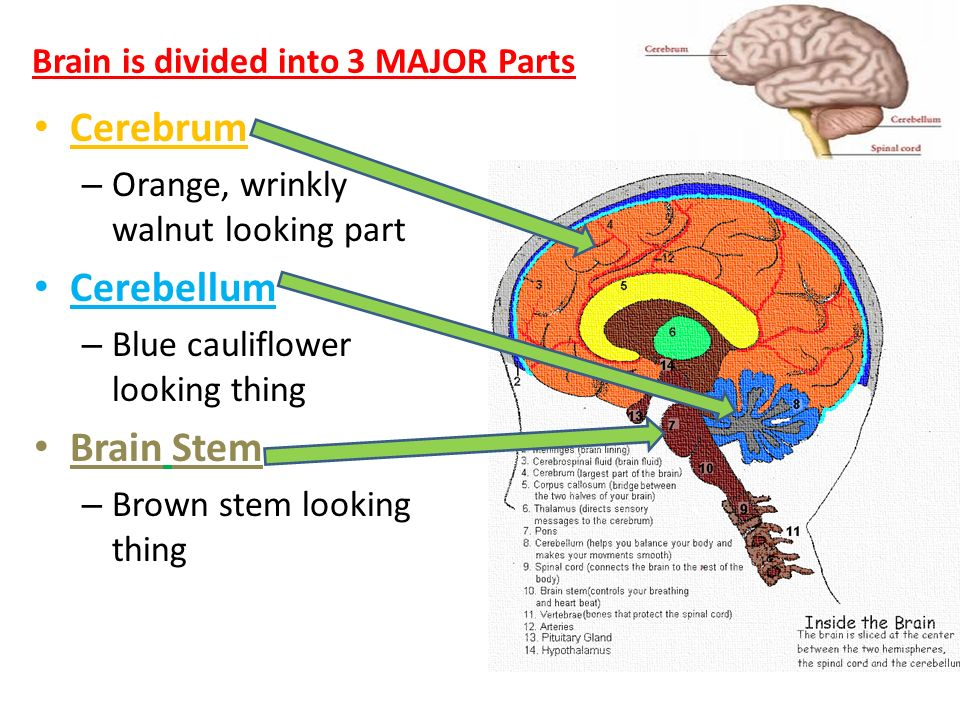 Some random nervous system trivia two parts of the nervous system 4 brain is divided into 3 major parts cerebrum orange wrinkly walnut looking part cerebellum blue cauliflower looking thing brain stem brown stem ccuart Image collections