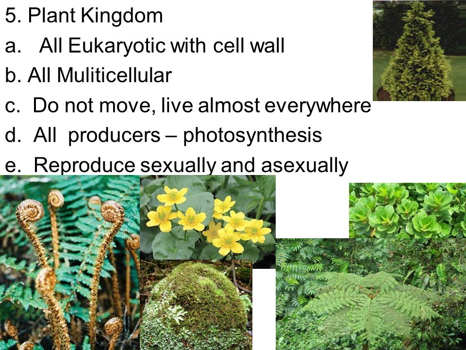 5. Plant Kingdom a. All Eukaryotic with cell wall b.