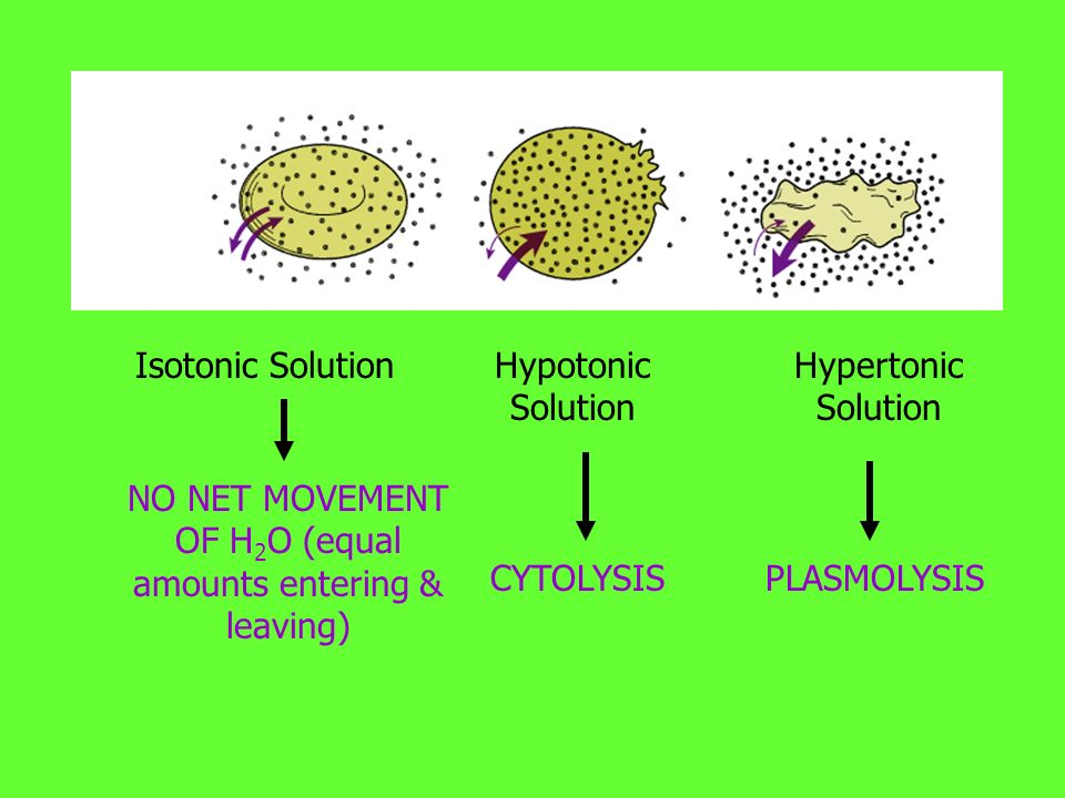 Isotonic Solution NO NET MOVEMENT OF H 2 O (equal amounts entering & leaving) Hypotonic Solution CYTOLYSIS Hypertonic Solution PLASMOLYSIS