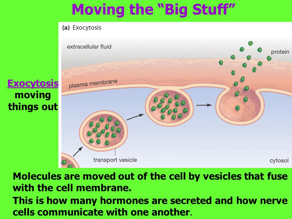 Moving the Big Stuff Molecules are moved out of the cell by vesicles that fuse with the cell membrane.