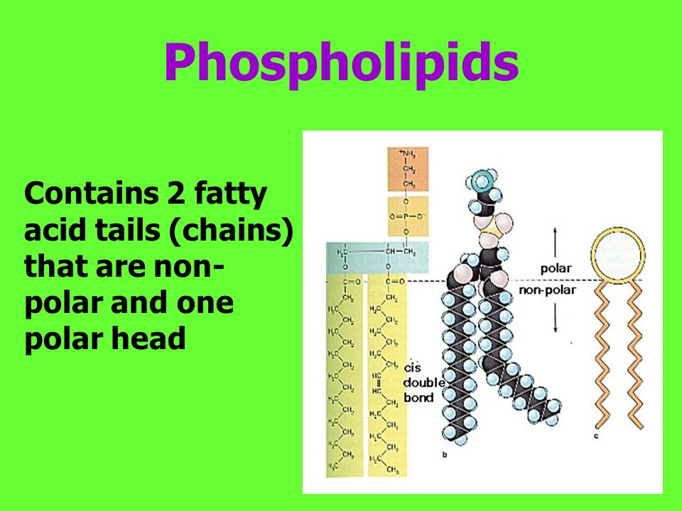 Phospholipids Contains 2 fatty acid tails (chains) that are non- polar and one polar head