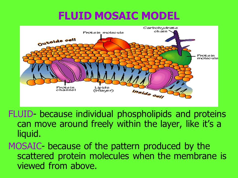 FLUID- because individual phospholipids and proteins can move around freely within the layer, like it's a liquid.