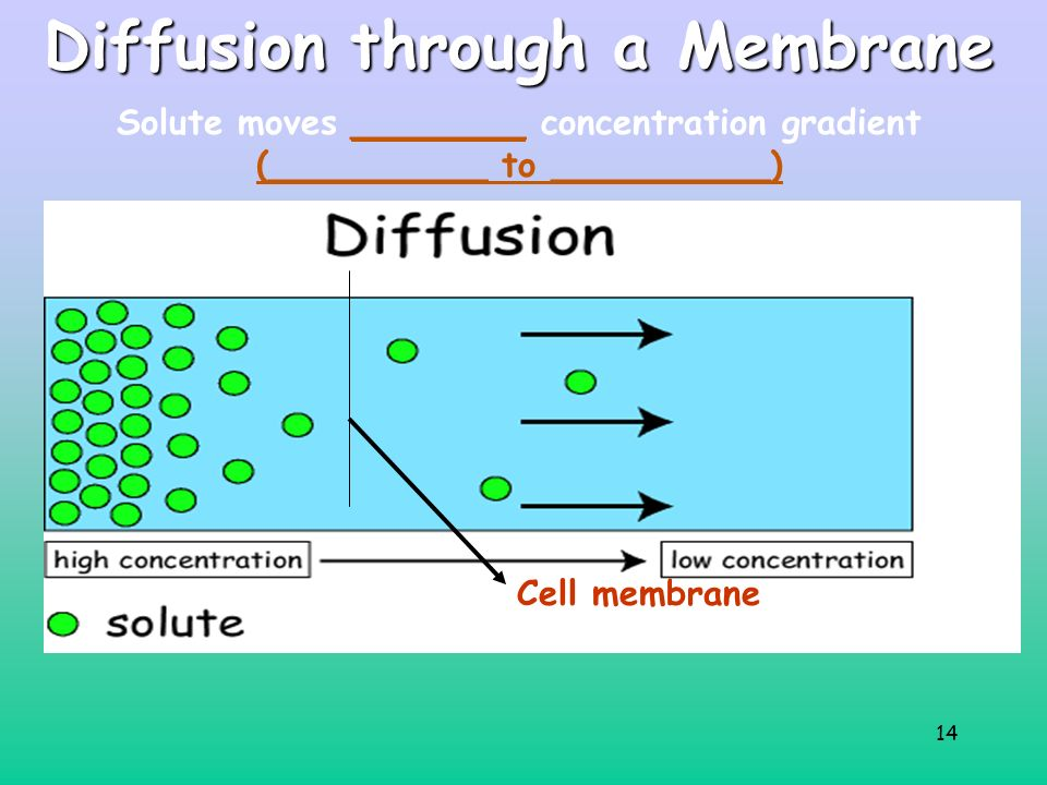 14 Diffusion through a Membrane Cell membrane Solute moves ________ concentration gradient (__________ to __________)
