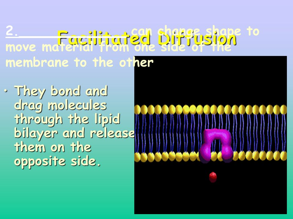 34 Facilitated Diffusion They bond and drag molecules through the lipid bilayer and release them on the opposite side.They bond and drag molecules through the lipid bilayer and release them on the opposite side.