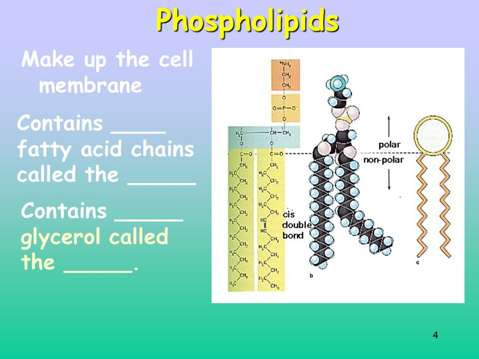 4Phospholipids Make up the cell membrane Contains ____ fatty acid chains called the _____ Contains _____ glycerol called the _____.