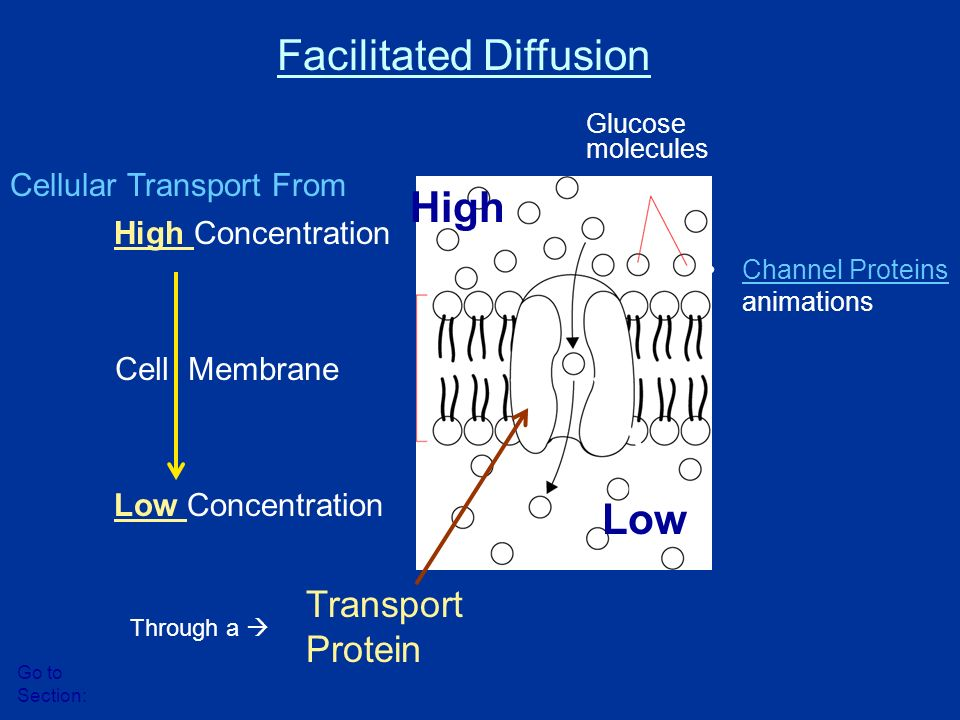 High Concentration Low Concentration Cell Membrane Glucose molecules Protein channel Facilitated Diffusion Go to Section: Transport Protein Through a  Cellular Transport From High Low Channel Proteins animationsChannel Proteins