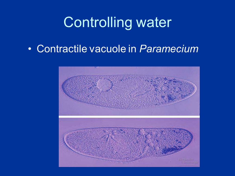 Controlling water Contractile vacuole in Paramecium