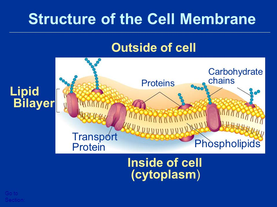 Outside of cell Inside of cell (cytoplasm) Lipid Bilayer Proteins Transport Protein Phospholipids Carbohydrate chains Structure of the Cell Membrane Go to Section:
