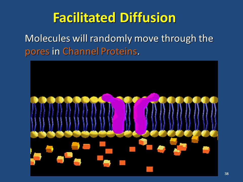 38 Facilitated Diffusion Molecules will randomly move through the pores in Channel Proteins.