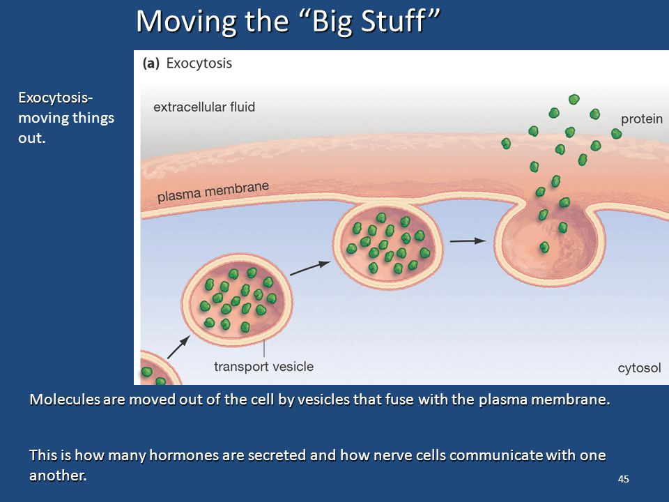 45 Moving the Big Stuff Molecules are moved out of the cell by vesicles that fuse with the plasma membrane.