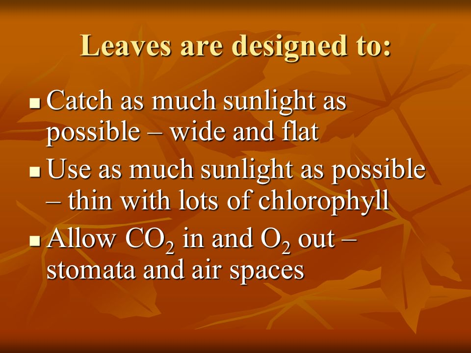 Leaves are designed to: Catch as much sunlight as possible – wide and flat Catch as much sunlight as possible – wide and flat Use as much sunlight as possible – thin with lots of chlorophyll Use as much sunlight as possible – thin with lots of chlorophyll Allow CO 2 in and O 2 out – stomata and air spaces Allow CO 2 in and O 2 out – stomata and air spaces