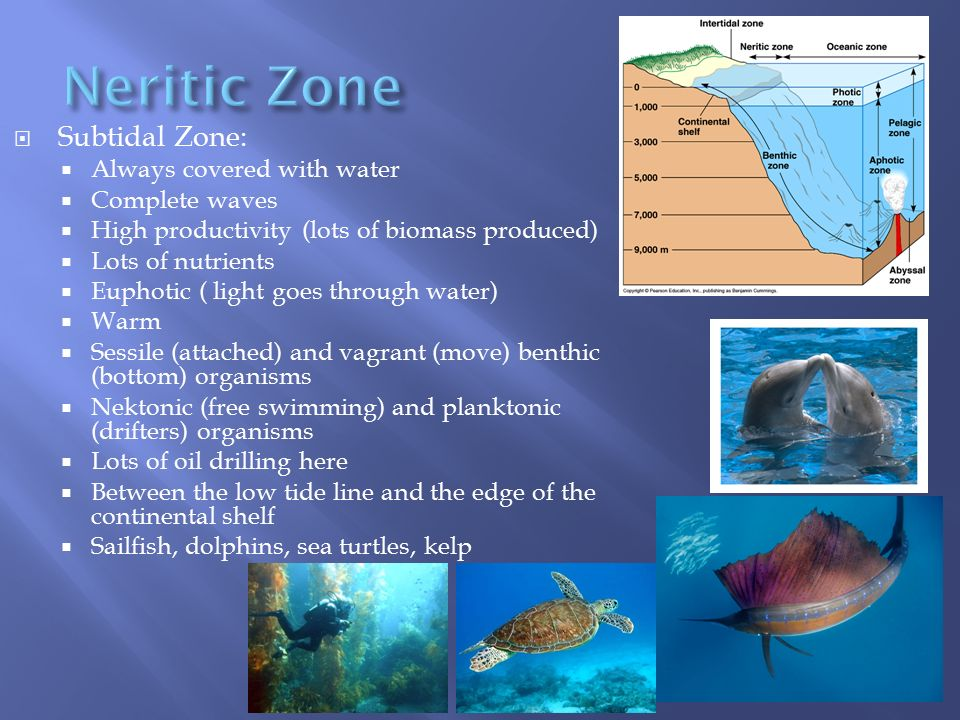  Subtidal Zone:  Always covered with water  Complete waves  High productivity (lots of biomass produced)  Lots of nutrients  Euphotic ( light go