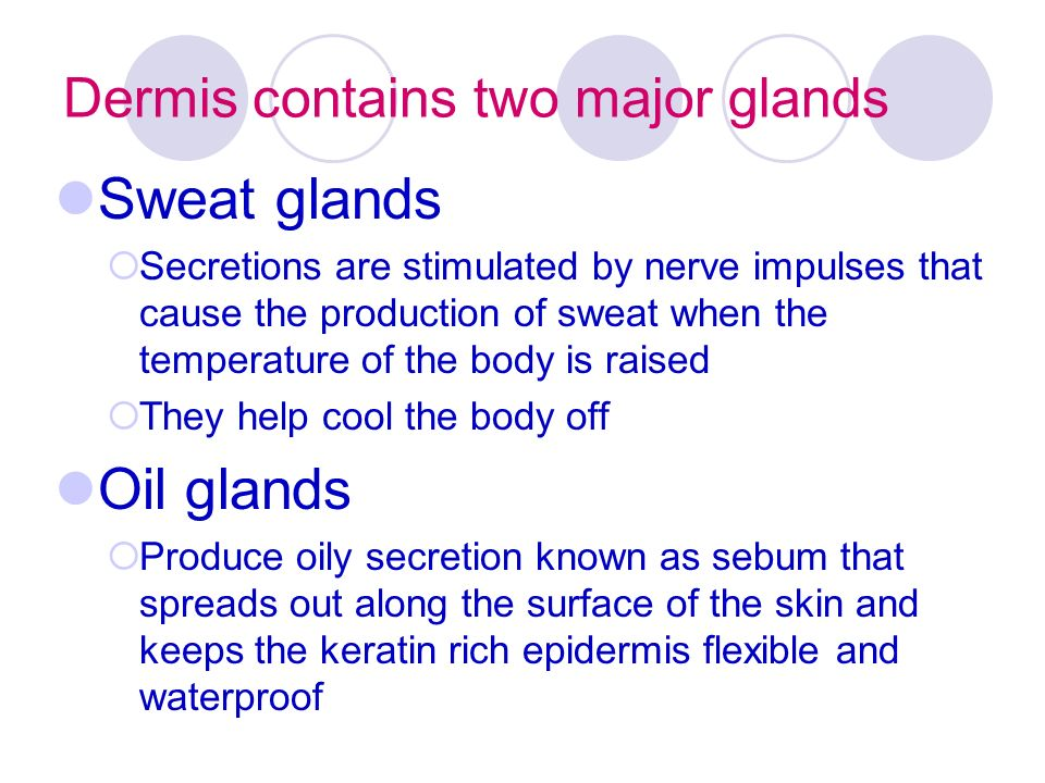 Dermis contains two major glands Sweat glands  Secretions are stimulated by nerve impulses that cause the production of sweat when the temperature of the body is raised  They help cool the body off Oil glands  Produce oily secretion known as sebum that spreads out along the surface of the skin and keeps the keratin rich epidermis flexible and waterproof