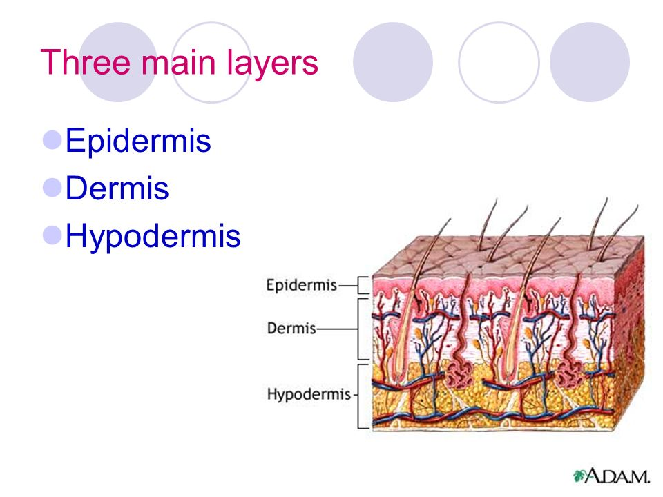 Three main layers Epidermis Dermis Hypodermis