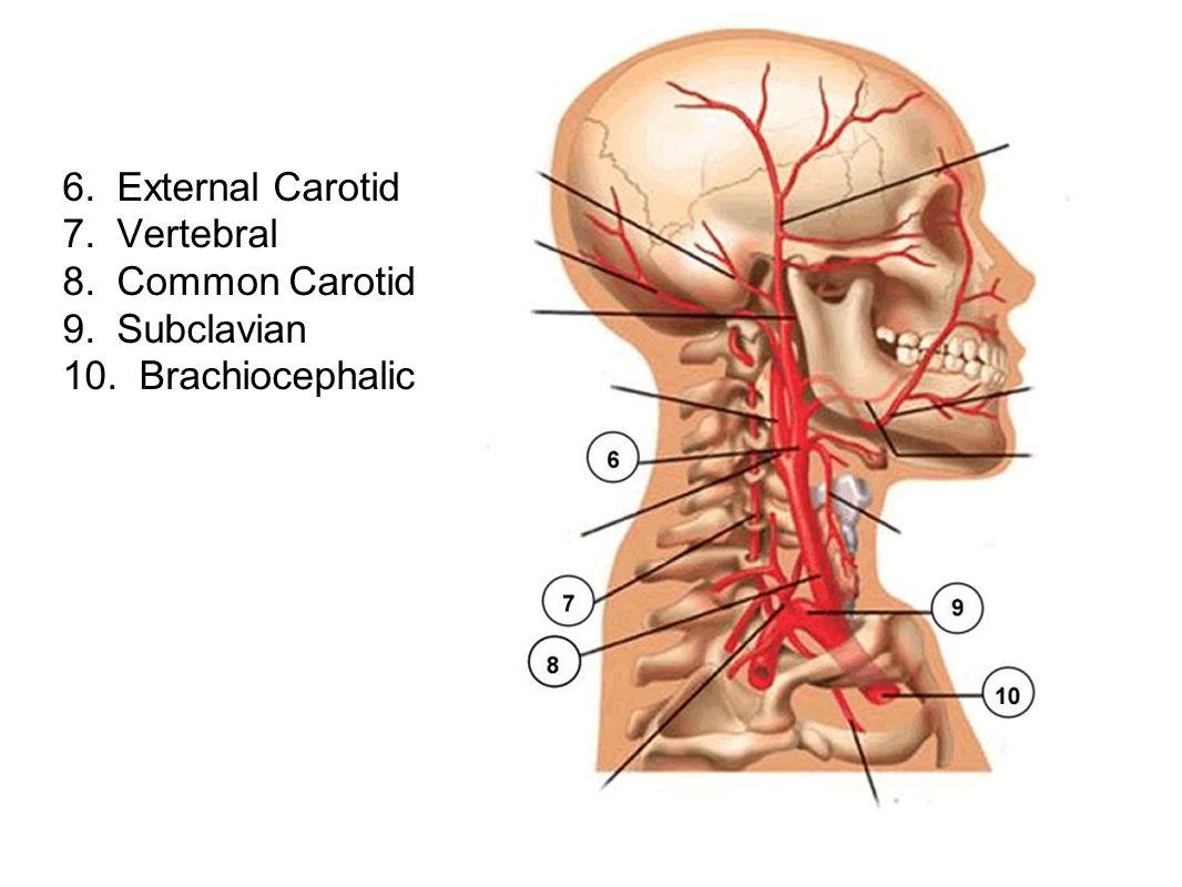6. External Carotid 7. Vertebral 8. Common Carotid 9. Subclavian 10. Brachiocephalic