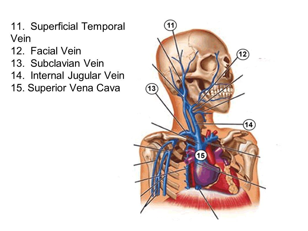 11. Superficial Temporal Vein 12. Facial Vein 13. Subclavian Vein 14. Internal Jugular Vein 15. Superior Vena Cava