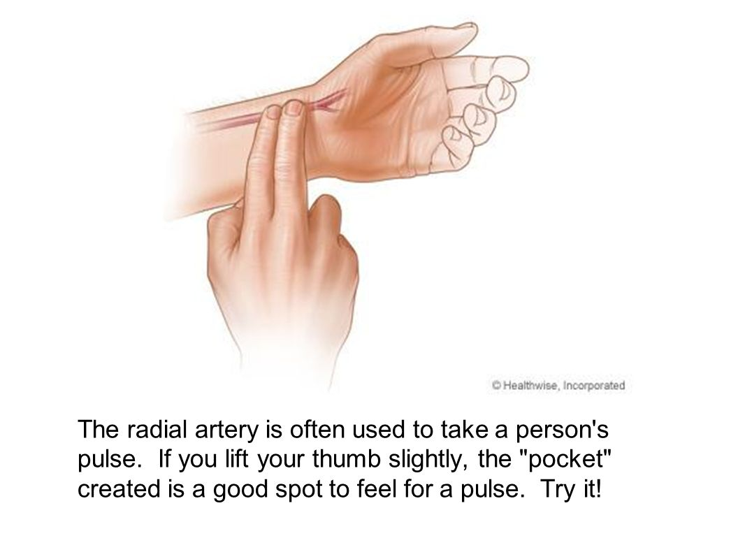 The radial artery is often used to take a person's pulse. If you lift your thumb slightly, the