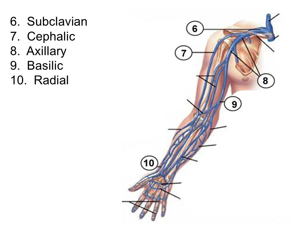 6. Subclavian 7. Cephalic 8. Axillary 9. Basilic 10. Radial