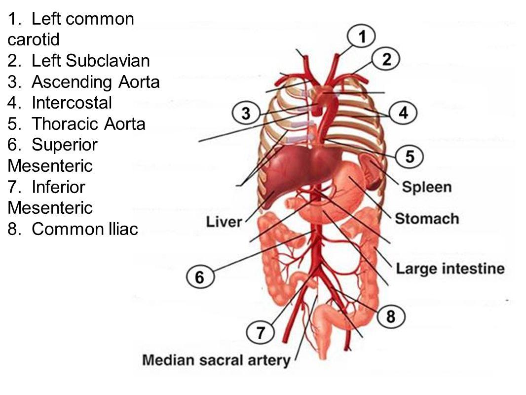 1. Left common carotid 2. Left Subclavian 3. Ascending Aorta 4. Intercostal 5. Thoracic Aorta 6. Superior Mesenteric 7. Inferior Mesenteric 8. Common