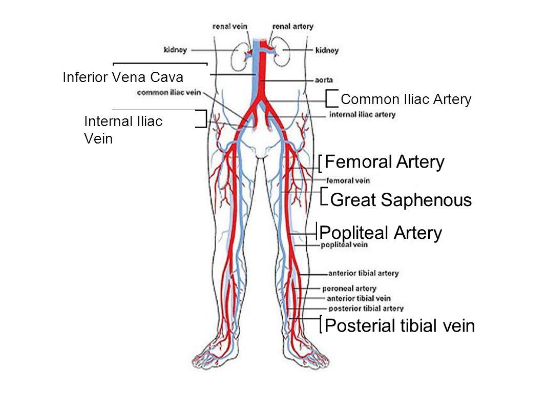 Inferior Vena Cava Internal Iliac Vein Common Iliac Artery Femoral Artery Great Saphenous Popliteal Artery Posterial tibial vein