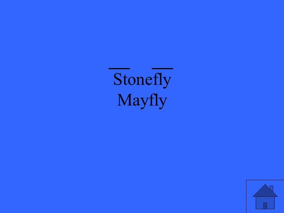 Stonefly Mayfly