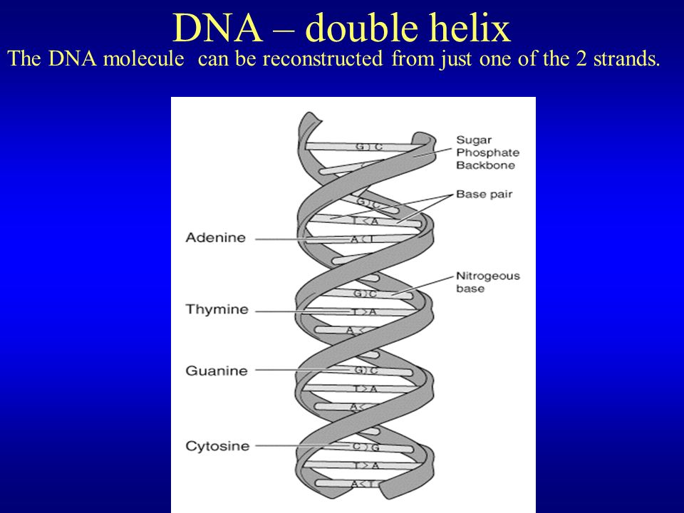 DNA – double helix The DNA molecule can be reconstructed from just one of the 2 strands.