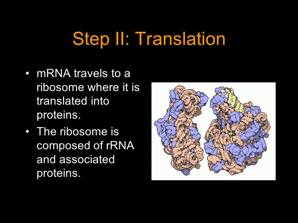 Step II: Translation mRNA travels to a ribosome where it is translated into proteins.