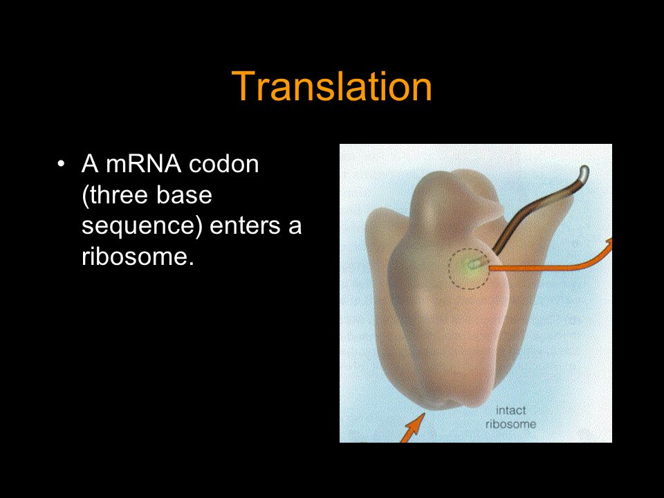 Translation A mRNA codon (three base sequence) enters a ribosome.