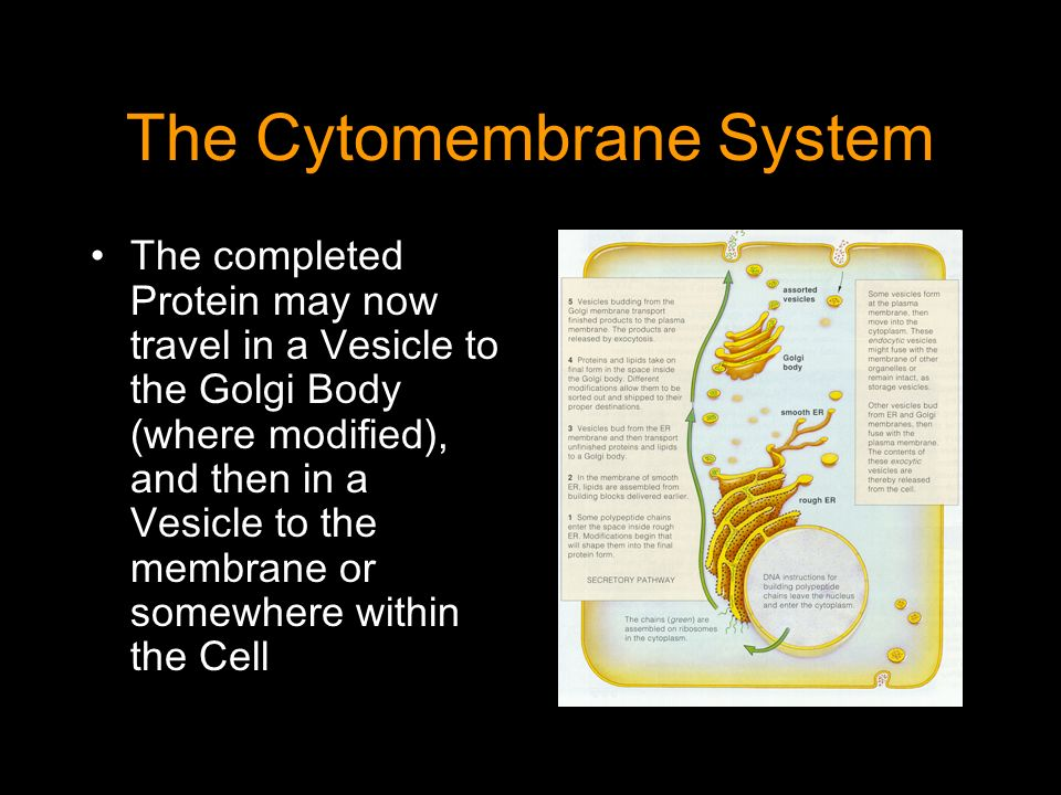 The Cytomembrane System The completed Protein may now travel in a Vesicle to the Golgi Body (where modified), and then in a Vesicle to the membrane or somewhere within the Cell