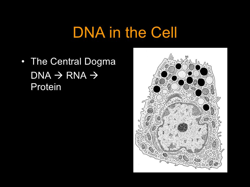 DNA in the Cell The Central Dogma DNA  RNA  Protein