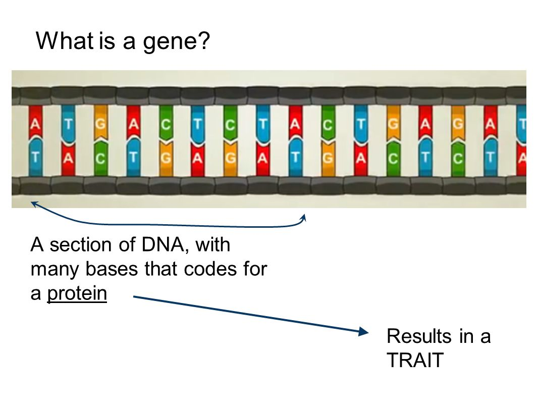 What is a gene A section of DNA, with many bases that codes for a protein Results in a TRAIT