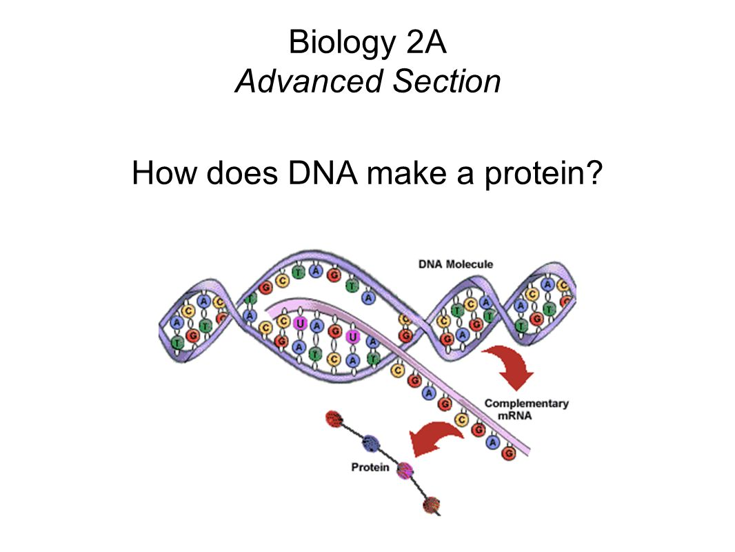 Biology 2A Advanced Section How does DNA make a protein